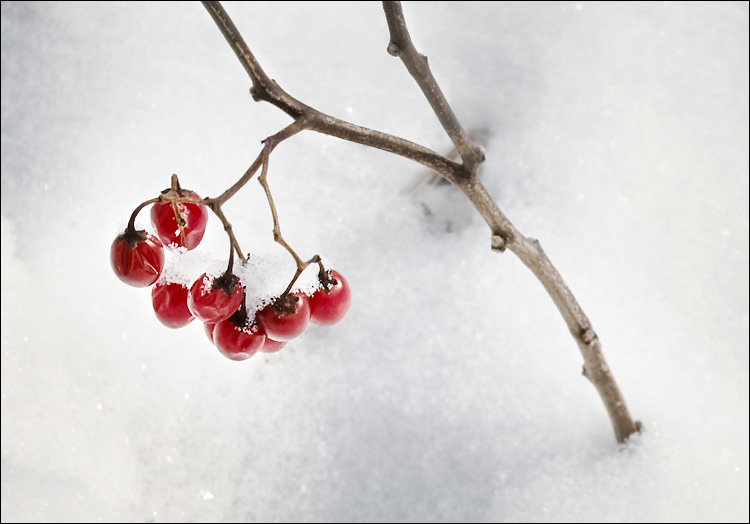 snow and berries || canon 350d/ef17-40L@40 | 1/320s | f10 | iso100 | handheld