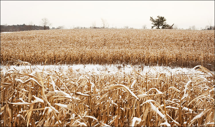 cornfield || canon350d/ef17-40L40 | 1/250s | f10 | iso100 | handheld