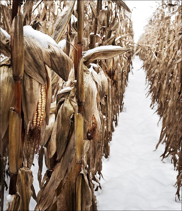 snowy cornfield || canon350d/ef17-40L@29 | 1/100s | f7.1 | iso100 | handheld