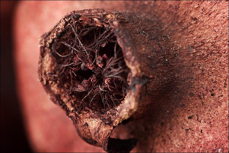 dried pomegranate || canon350d/ef100 | 1/200s | f6.3 | M | iso100 | tripod