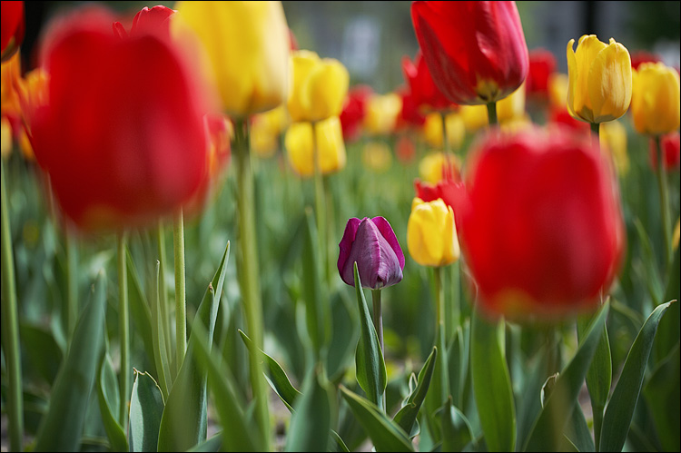http://wvs.topleftpixel.com/photos/2007/07/tulips_purple_in_yellow-and-red_01.jpg