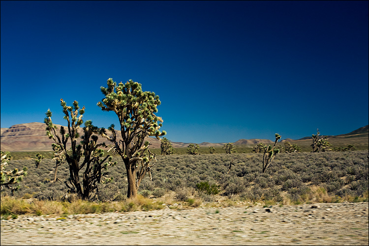 joshua trees || Canon5D/EF17-40L@40 | 1/160s | f9 | ISO400