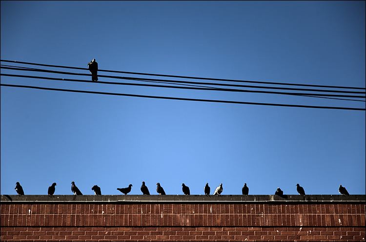 pigeon king || Canon5D2/24-105f4L@95 | 1/1250s | f4 | ISO100