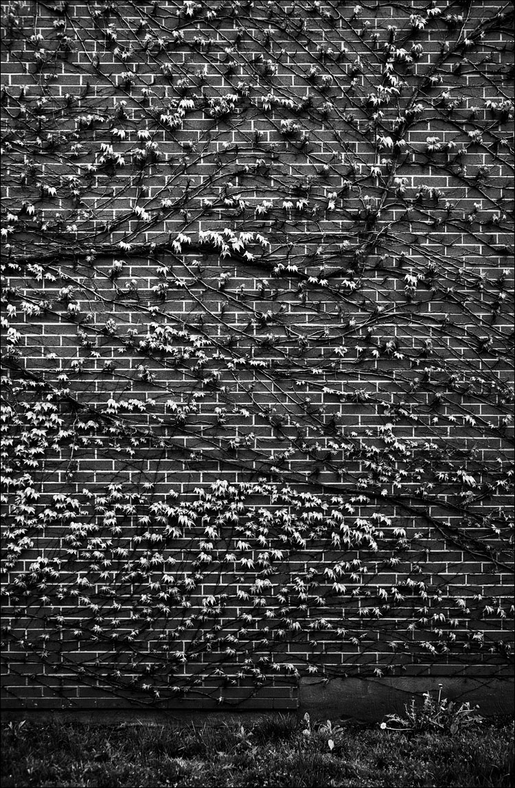 Leaves on Wall || Canon 5D2/EF24-105f4L | 1/40s | f4 | ISO125