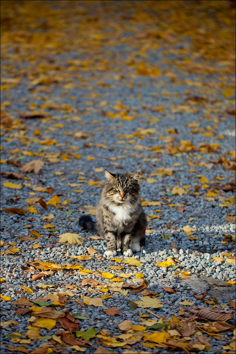 Cat and Leaves || Canon5D2/EF100f2.8L | 1/1600s | f2.8 | ISO200