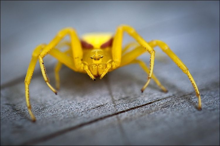 yellow spider: