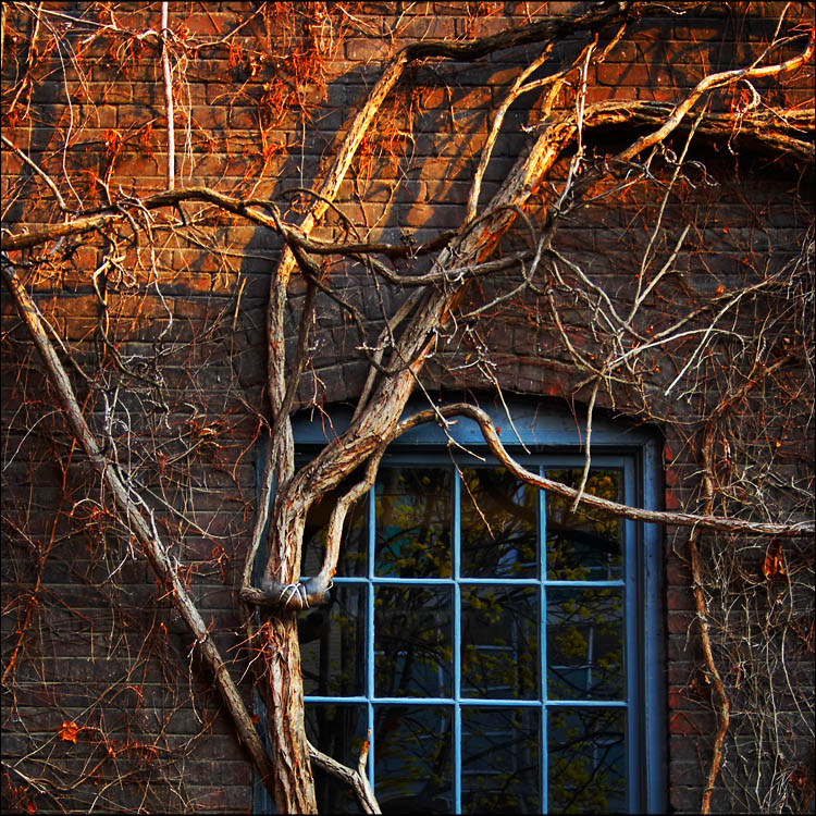 ivy and blue window || canon 350d/efs18-55@41 | 1/50s | f5.6 | ISO400 | handheld