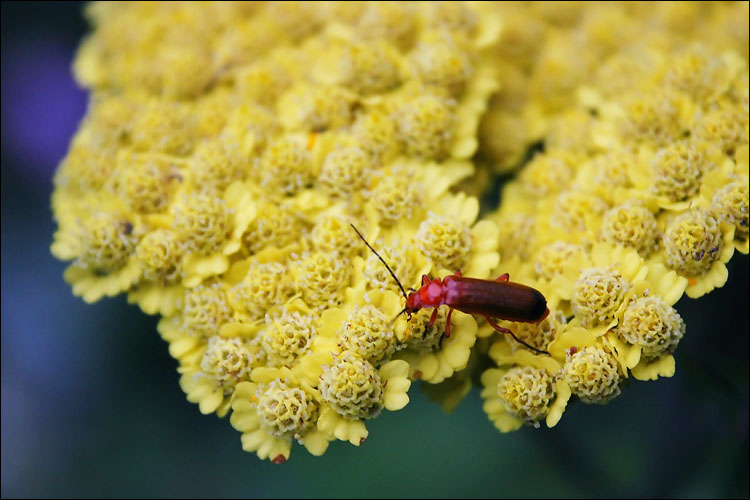 red bug, yellow flower || canon 300d | 1/80s | f5.6 | ISO 800 | handheld | canon 250d macro adapter