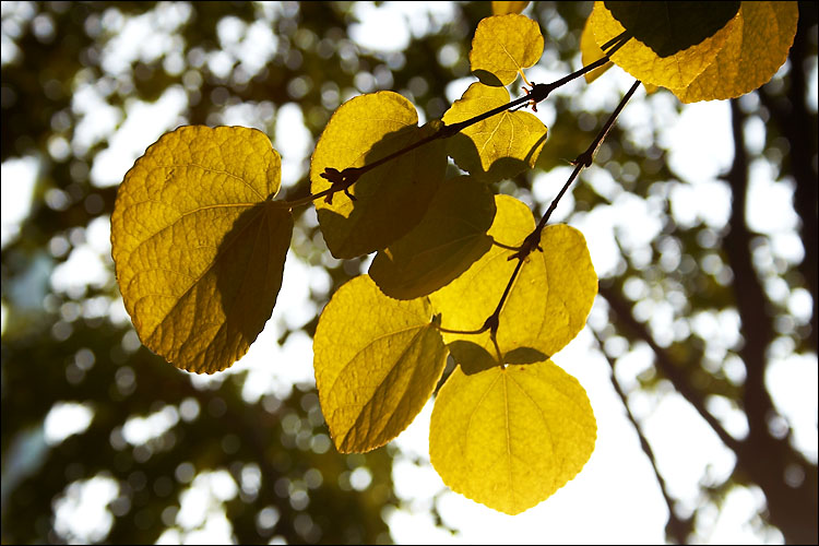 backlit leaves || canon 350d/efs18-55@55 | 1/125s | f8 | iso100 | handheld