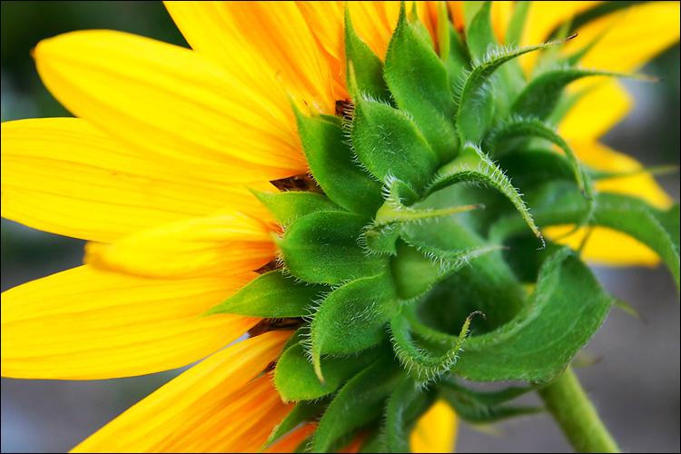 sunflower || canon 300d/kit lens | 1/100s | f7.1 | ISO 400