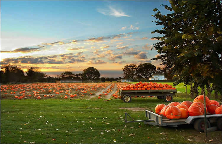 pumpkin field || canon 350d/ef17-40L@20 | 1/100s | f7.1 | iso200 | handheld