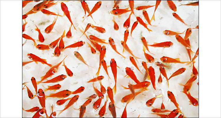 red fishes of norouz || canon G2 | 1/20s | F2.5 | ISO 50