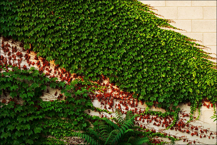 ivy, green and red || canon 350d/ef17-40L@33 | 1/60s | f5.6 | iso100 | handheld